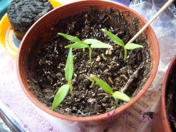 这一盆小红辣椒却都发芽了