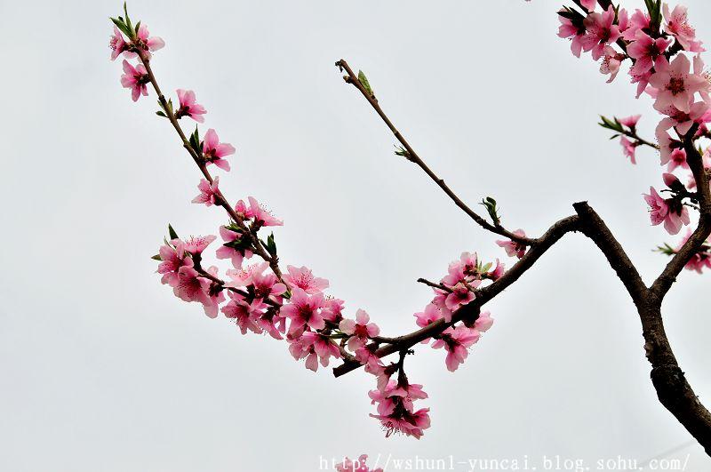 桃花子房结构示意图