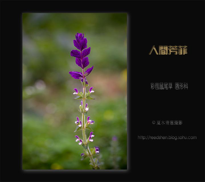 人间芳菲四五九: 彩苞鼠尾草