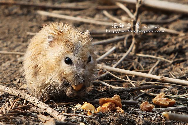 片是这只可爱的小田鼠
