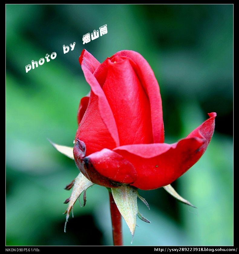 美丽鲜花在开放(摄影)