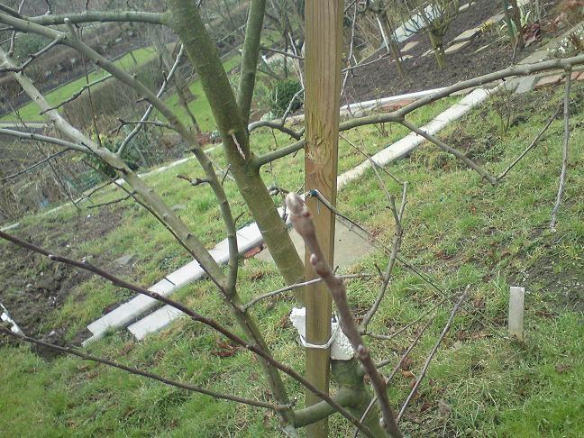 三棵苹果树都开始发芽了