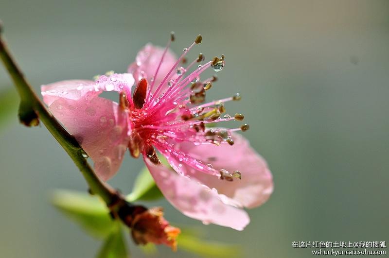 桃花花瓣和花蕊