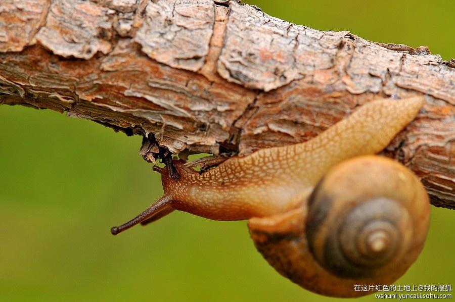 蜗牛刚爬行了一会,就开始向树枝的下部爬行