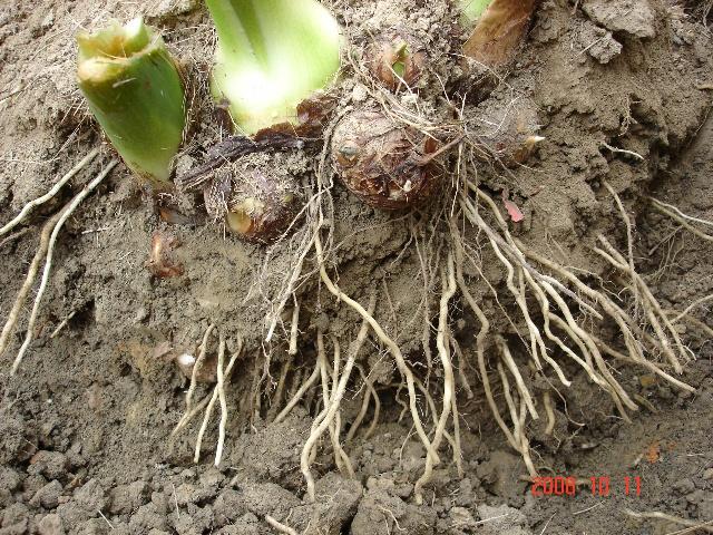 芋头的生长过程 10