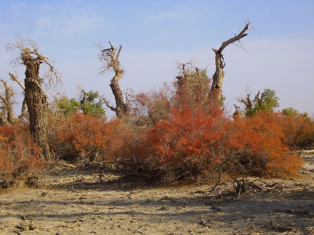 """与""""怪树林""""相距不远的地方,胡杨突然骤减,树隙间露出开阔的灌木"""