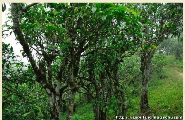 茶树种质资源收集整理与保存研究            2010勐海
