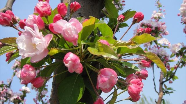 姥姥拍的海棠特别漂亮
