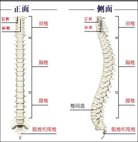 人体脊椎结构示意图