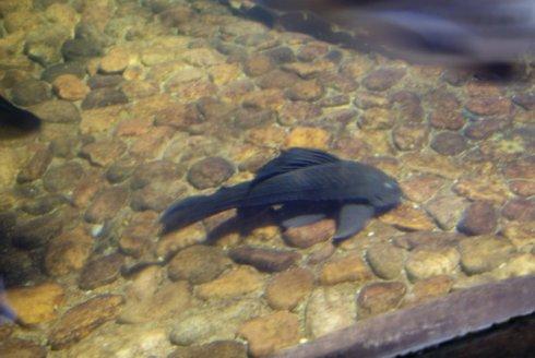 清道夫--有名吸盘鱼,琵琶语.