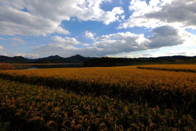 秋收,丰收的庄稼永远是心中最美丽的图画.秋天的 ...