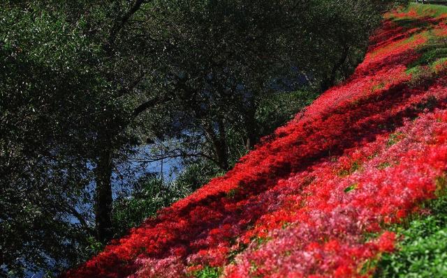 彼岸花风之彼岸盛开的冥界之花