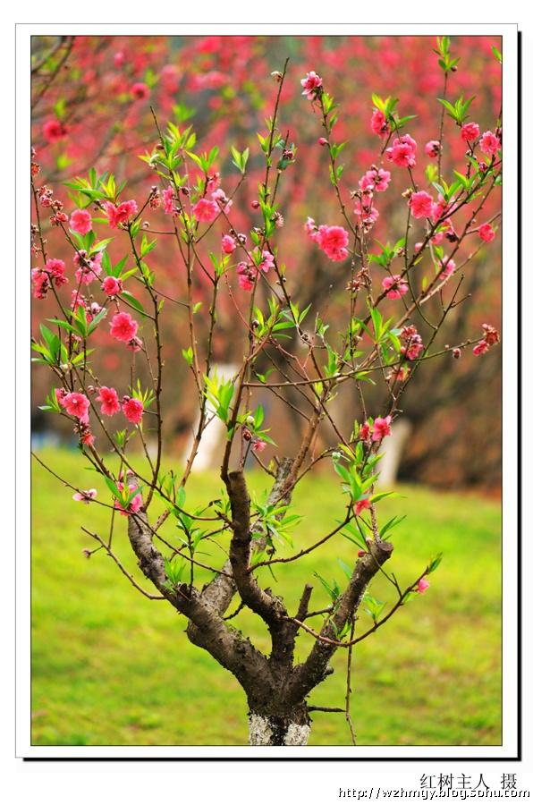 [红树主人摄影]深圳莲花山:桃花林里觅新春