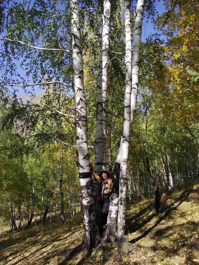 着铺满桦树叶的草地;清新的空气伴随着蓝的天,白的树,油画般的白桦林.